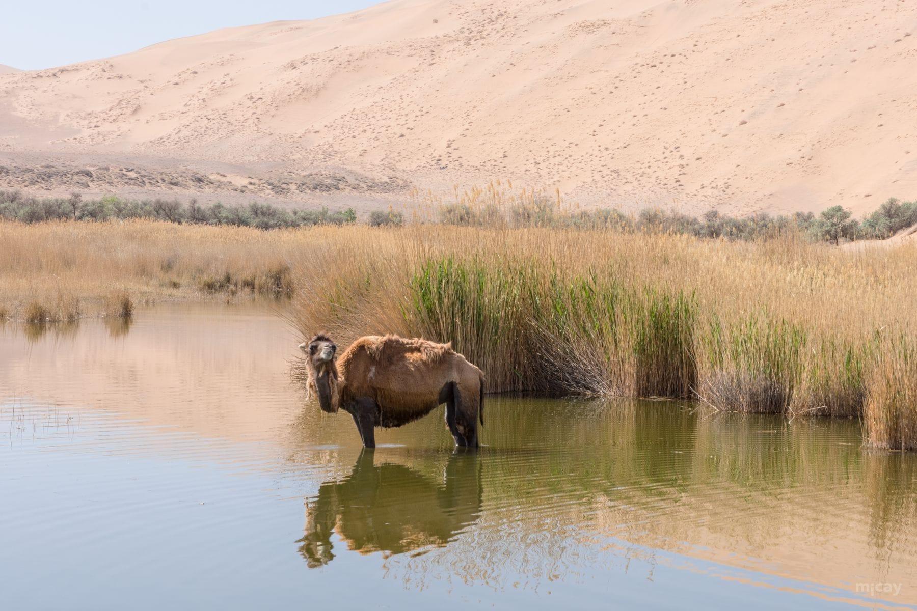 MichelAycaguer-Chine-Desert-BadainJaran-Dunes-Chameaux-MongolieInterieure-10