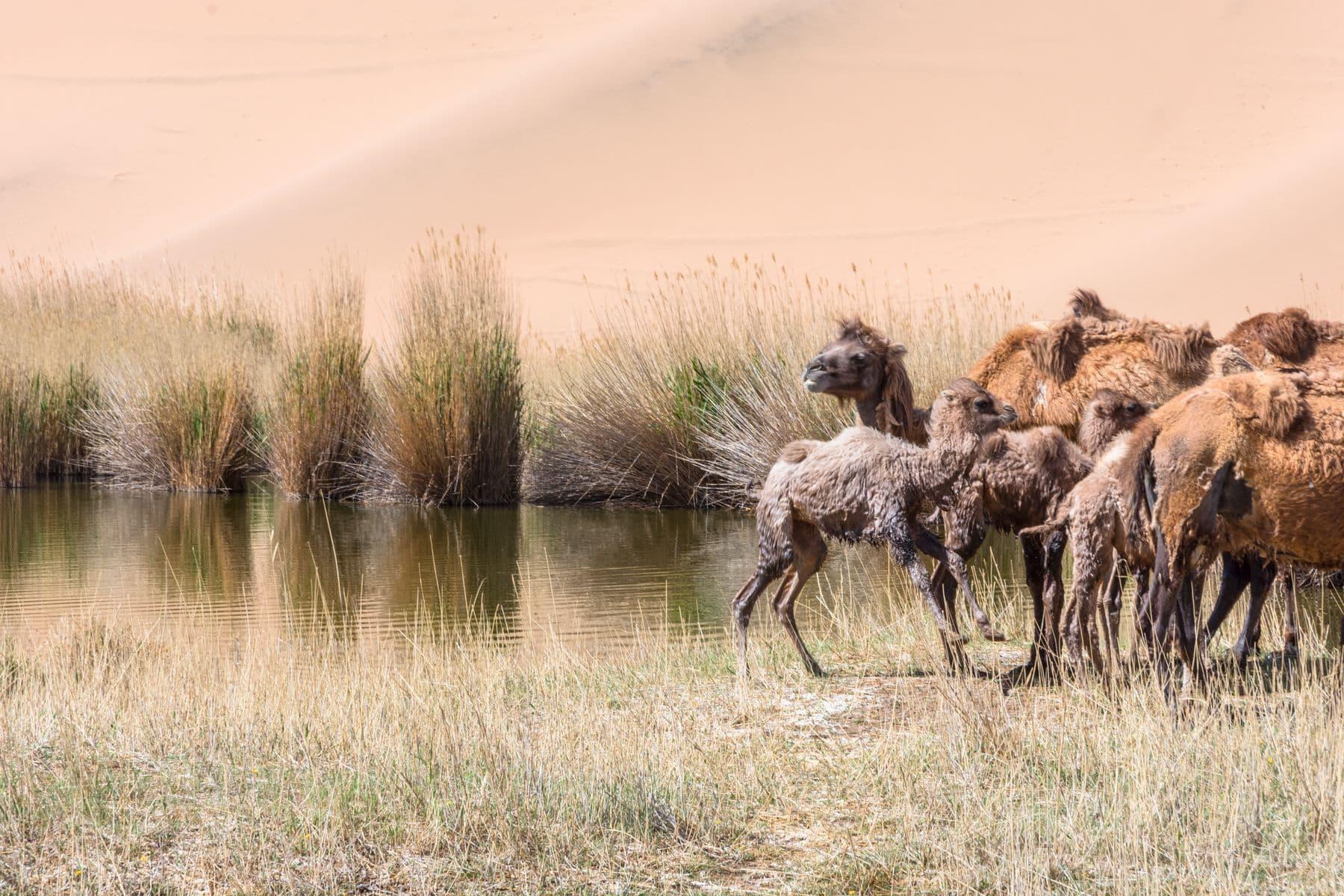 MichelAycaguer-Chine-Desert-BadainJaran-Dunes-Chameaux-MongolieInterieure-5