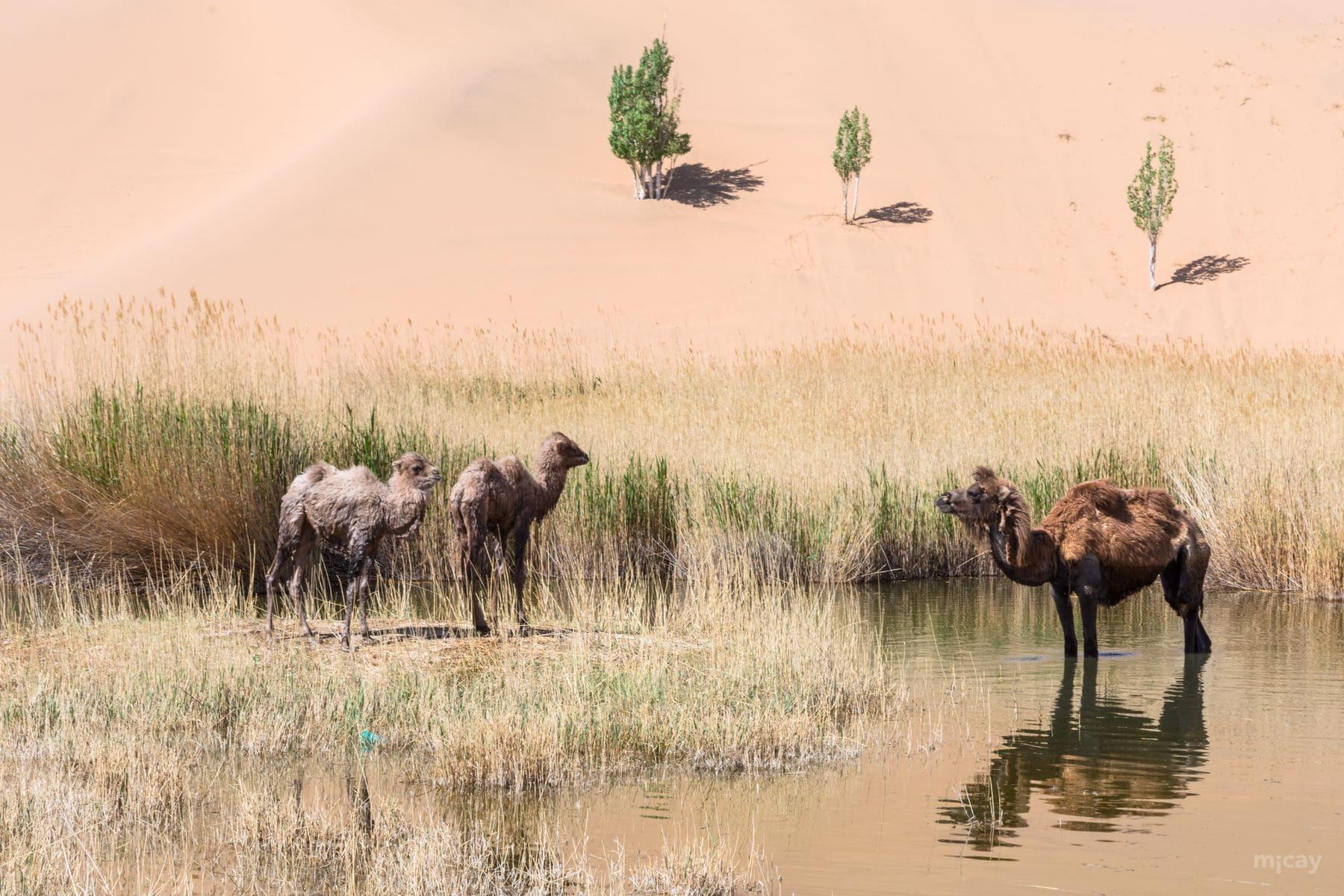 MichelAycaguer-Chine-Desert-BadainJaran-Dunes-Chameaux-MongolieInterieure-6