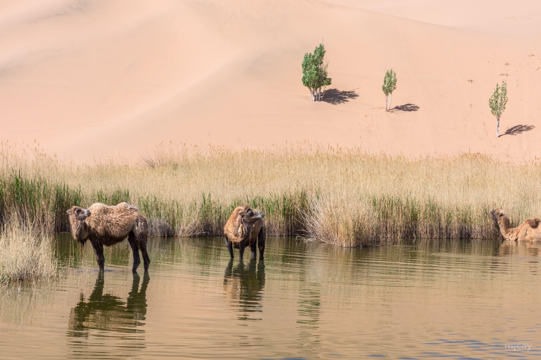 MichelAycaguer-Chine-Desert-BadainJaran-Dunes-Chameaux-MongolieInterieure-8