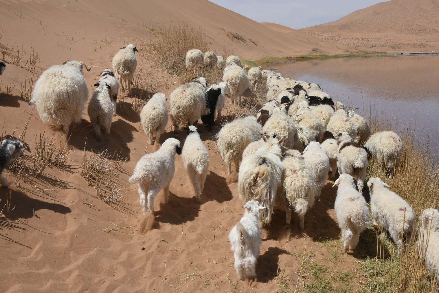 MichelAycaguer-MongolieInterieure-DesertBadainJaran-recolteCachemire-2017-17